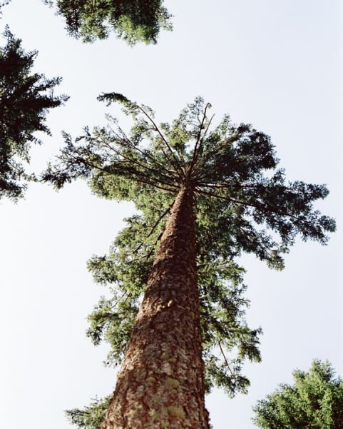 Looking up a large evergreen tree